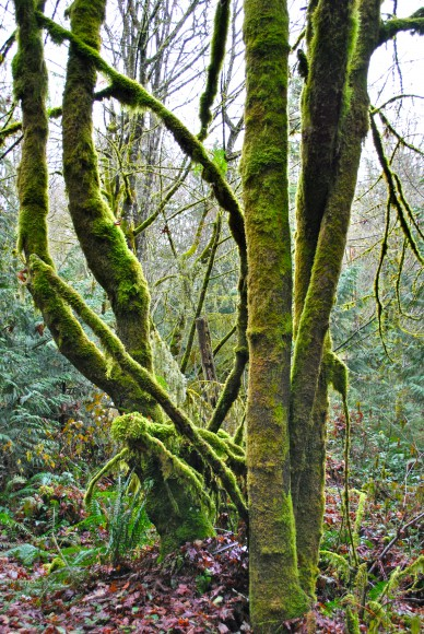 Glowing Moss on the trees at IslandWood on Bainbridge Island - Jen Pells