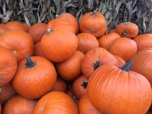 Pumpkin Patches on Bainbridge